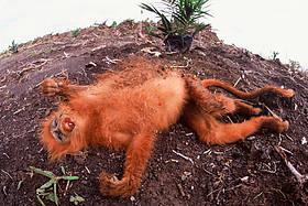 dead_maroon_leaf_monkey_489344
